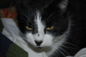 Displeased Oreo - Cat Takeover by StarlightWhispers