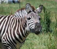 Zebra Smile by StephGabler
