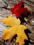 Yellow and Red Maple Leaves by houstonryan