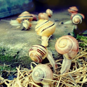 Snails by CocoaDesert