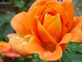 Orange rose 1 by TotalFreak
