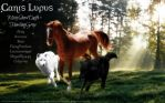 Canis Lupus Brumbies Banner 2 by MistySnowDrift