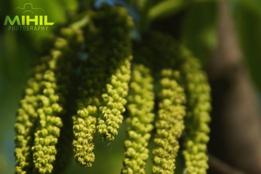 Catkin by Mihil
