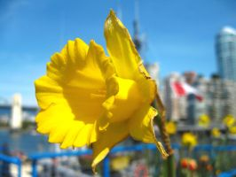 Daffodil on Granville by fishifishy