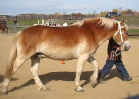 Haflinger Gelding by shi-stock