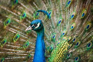 .:Regal Peacock:. by RHCheng