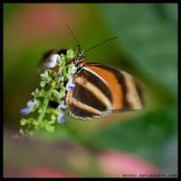 butterfly by morho