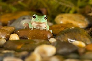 Whites tree frog by AngiWallace