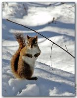 Squirrel 1 by cdr80700