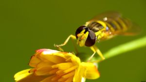 Hoverfly 3 by biffexploder