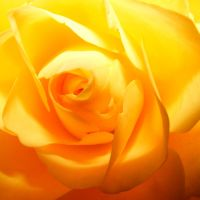 Yellow Rose 02 by s-kmp