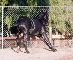 HORSE STOCK - FOXTROTTER BC 06 by kittykitty5150