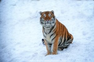 Shy tiger by Jagu77