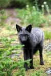 Silver Phase Red Fox by La-Vita-a-Bella