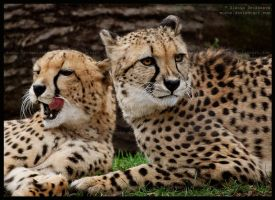 cheetah brothers by morho