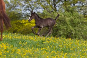 Black Warmblood Foal Galloping on yellow flowers 1 by LuDa-Stock