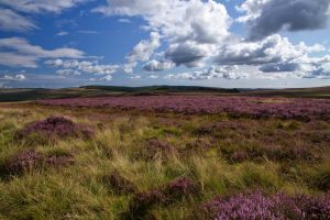 Heather in Northumberland by parallel-pam