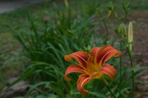 2015-05-20 Lily 04 by skydancer-stock