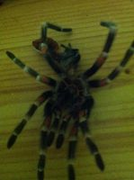 Mexican Flame Knee Tarantula Molt by emmys-stock