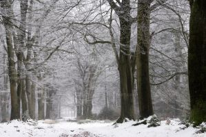 Beeches in winter by TjerkEpema