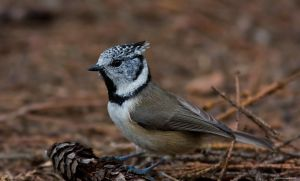 The Crested Tit 1 by one-with-dark