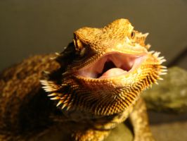 Smiling Beardie... Say Cheese! by thebizzeebee