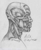 Anatomy-Head Lateral View 2 by andrewcox