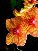 Orchid 2536 by CitizenOlek