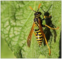 Wasp by X3RoN