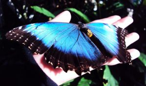 Common Blue Morpho Butterfly by Slytherin-Decepticon
