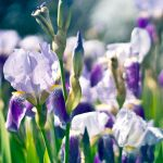 21.52 - Field of irises by head-in-the-cloud