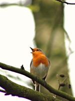 Singing Robin by JetteReitsma