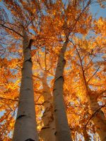 Birch Trees 2 by surrealswirls