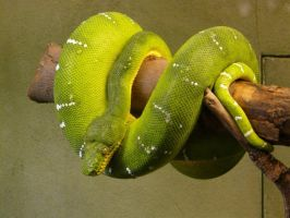 Green Tree Boa 02 by Unseelie-Stock
