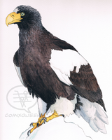 Steller's Sea Eagle in Watercolor and Ink by comixqueen