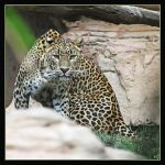 Leopard 21 by Globaludodesign