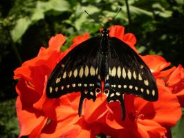 Black Swallowtail Male by Pentacle5
