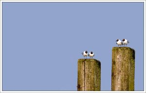 snobbish black-headed gulls by neoloonatic