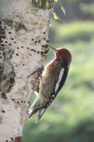 Front Yard Woodpecker by Anthony-aggro