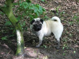 Stock - Fawn Pug 001 by ladykraut