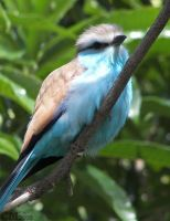 Racket-Tailed Roller by Ciameth