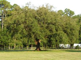 Big Oak 1 by zippostock