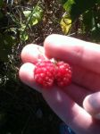 Mutated Raspberry that looks like lungs. by Pinklopunny13