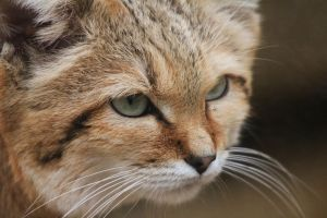Sand Cat by rhiannonphillips
