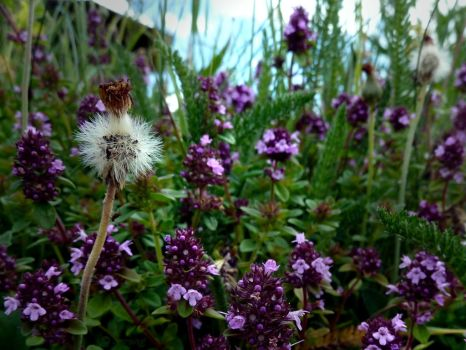Wild Thyme 2 by Lupsiberg