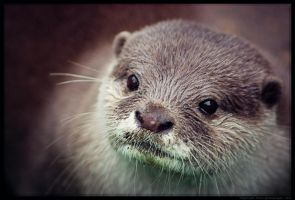 Otter II by Sato-photography