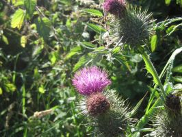 Thistles and Thistles by Lady-Of-Mars