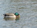 It's a duck's life by tarnishedknight
