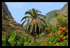 Palm Tree - Gomera Island -  Canary Islands by skarzynscy