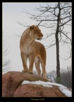 Toronto Zoo -  Lion by Nel-Whipwind